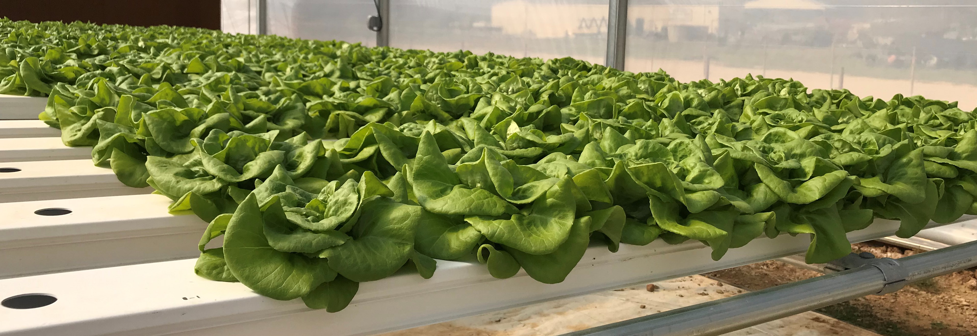 Fresh lettuce growing in aquaponics flat