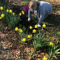 a woman kneeling and holding a trowel in a patch of daffodils
